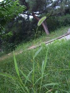 Green foxtail millet (Setaria viridis)