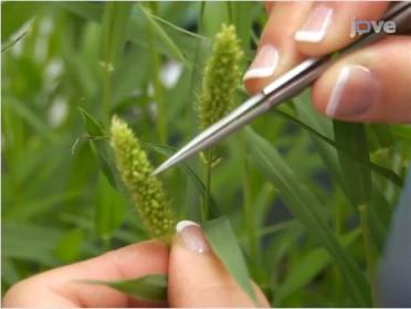 Setaria viridis can be cross pollinated.