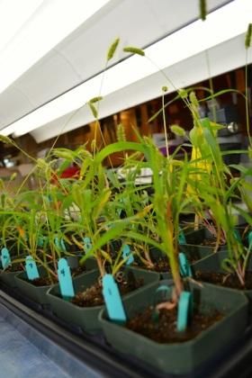Tray of Setaria viridis growing in the lab.