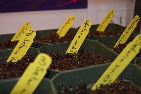 Measuring germination at Wentzville Holt High School