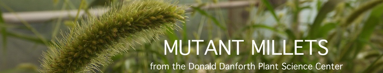 Mutant Millets