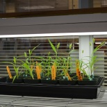 A tray of Setaria growing on shelves in a classroom