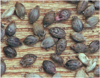 Setaria seeds