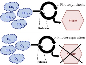 Rubisco and Photorespiration