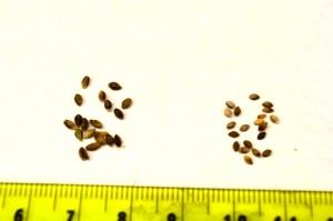 Big seed mutant phenotype